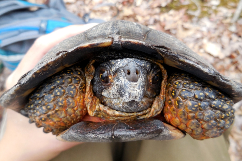 "An older wood turtle known as ""Gramps"""
