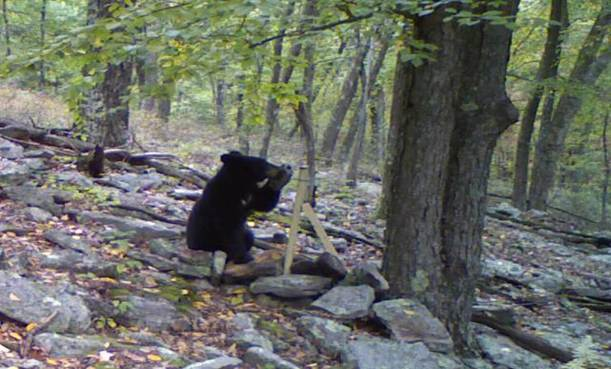 Black Bear sitting in front of camera and bending camera over so that it can gnaw on it... jerk.